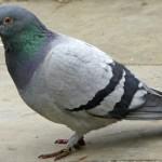 Quelle attitude adopter en présence d'un pigeon asiatique ?