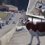 Regardez bien cette vache : c'est un radar !