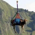 12 vaches suisses exfiltrées par des hélicoptères de l'Armée française
