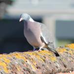 Lons-le-Saunier : les pompiers sauvent un pigeon posé sur un toit