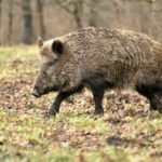 Doubs : des chasseurs injurient accidentellement un sanglier qu'ils avaient pris pour un vététiste